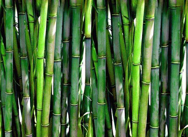 Bambu planta