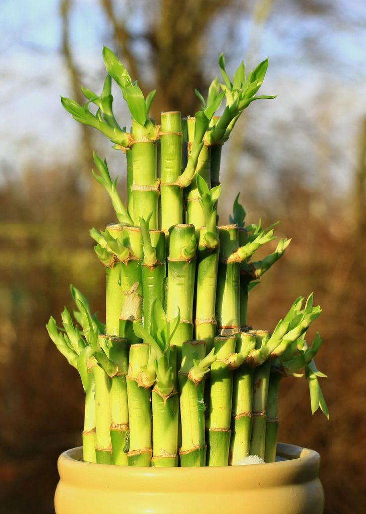 Plantas de bambú de la suerte